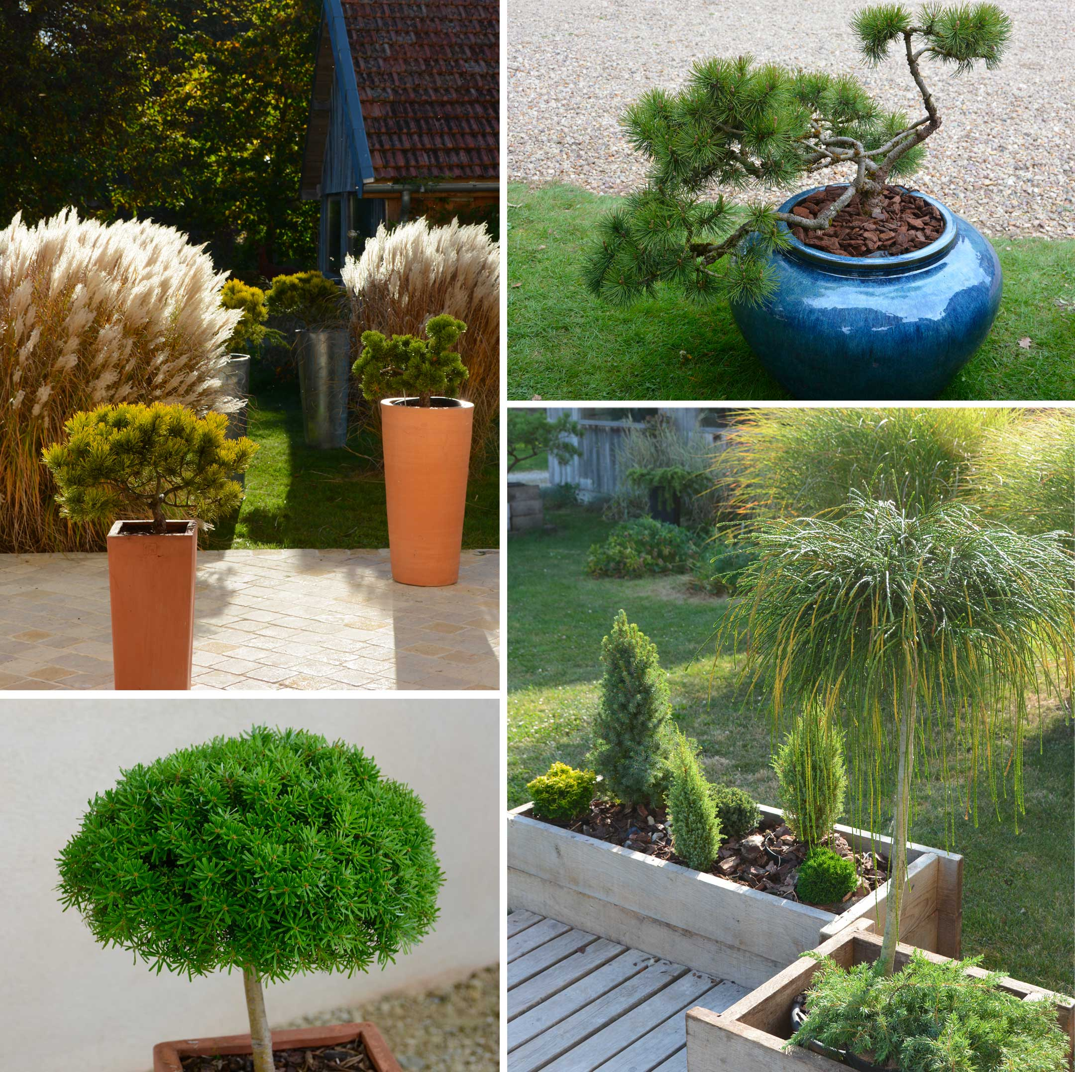 Pot Jardin Grande Taille conifères en pots - pépinière des laurains